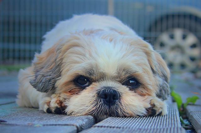 シーズー犬画像